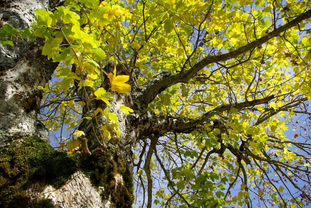 Bergahorn, Naturverbundenheit, Natur, hsp academy, Geomantie