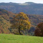Bergahorn, Schwarzwald, Naturverbundenheit, Natur, hsp academy, Geomantie