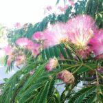 Mimose, Bäume, hsp, hochsensibel, Natur, Sylvia Harke