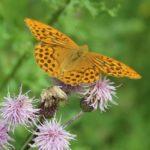 Hochsensibilität, Schmetterling