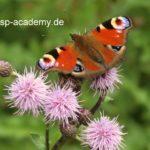 Hochsensibilität, Pfauenauge, Schmetterling auf der Wiese