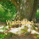 Waldbaden: Kraft tanken in der Natur, uralte Eiche