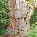 Baum Meditation, Verwurzelung, Baumgroßväter, uralte Eiche im Urwald Sababurg